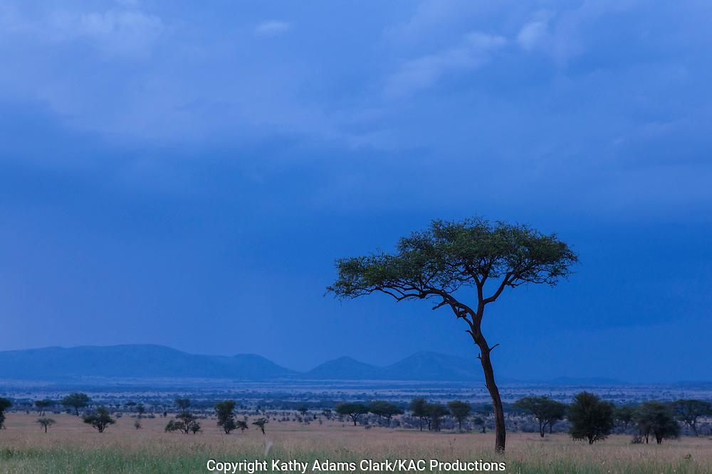 Acacia tree, on the Serengeti grasslands, Tanzania, Africa.