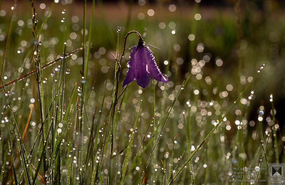 Bluebell (Campanula rotundifolia) with dewdrops on it Hannagan Meadow, Arizona..Media Usage:.Subject photograph(s) are copyrighted Edward McCain. All rights are reserved except those specifically granted by McCain Photography in writing...McCain Photography.211 S 4th Avenue.Tucson, AZ 85701-2103.(520) 623-1998.mobile: (520) 990-0999.fax: (520) 623-1190.http://www.mccainphoto.com.edward@mccainphoto.com.