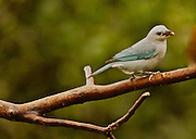 Costa Rica, Blue-gray Tanager, cayana tanagers, Arenal Volcano