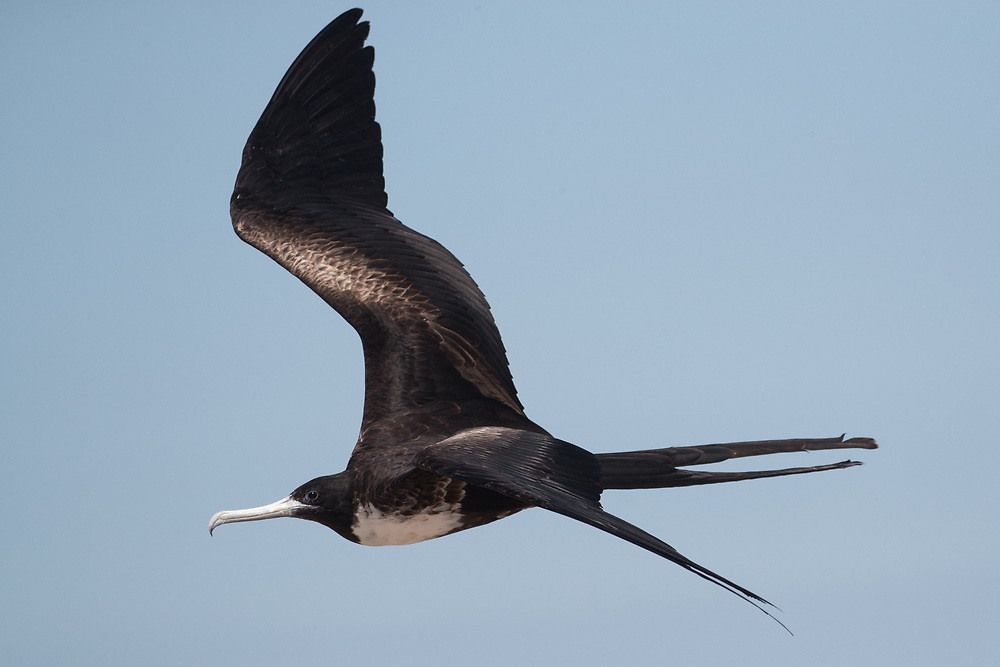 Fregata magnificens (based on throat color), flying over North Seymour Island breeding territories, Galapagos, Ecuador