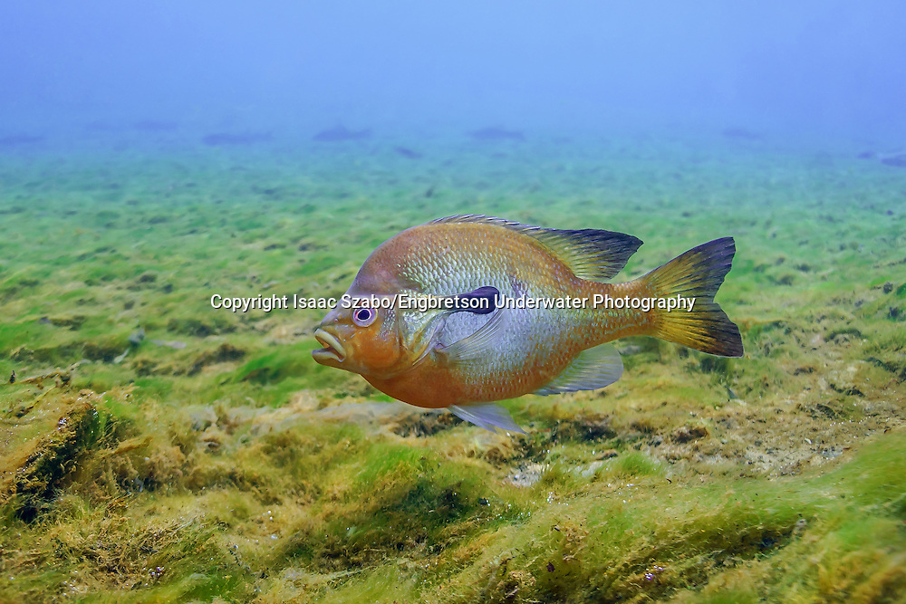 Redbreast Sunfish<br /> <br /> Isaac Szabo/Engbretson Underwater Photography