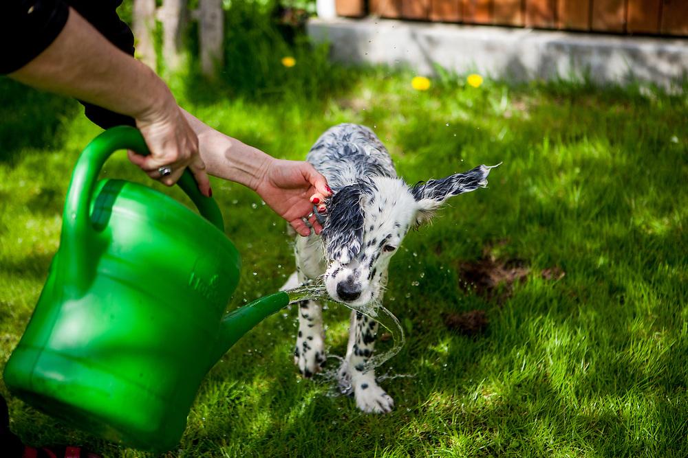 """English Setter Welpe """"Rudy"""" wird am 15.04.2017 mit einer Gieskanne im Garten geduscht. Rudy wurde Anfang Januar 2017 geboren und ist gerade zu seiner neuen Familie umgezogen."""