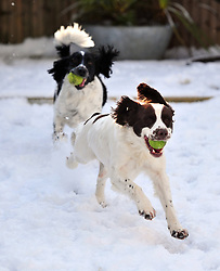 © Licensed to London News Pictures.27/02/2018<br /> Bromley, UK.<br /> English Springer Spaniels Oscar (Liver and White) age 2 and Wilson (Black and White) age 3  play with their tennis balls in the snow.<br /> Photo credit: Grant Falvey/LNP