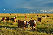Beef cattle in pasture at sunset<br /> Hodgeville<br /> Saskatchewan<br /> Canada