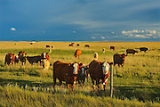 Beef cattle in pasture at sunset<br /> Hodgeville<br /> Saskatchewan<br /> Canada