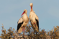 White Storks (Ciconia ciconia) <br /> Wetland Reserve<br /> Do&ntilde;ana National &amp; Natural Park. Huelva Province, Andalusia. SPAIN<br /> 1969 - Set up as a National Park<br /> 1981 - Biosphere Reserve<br /> 1982 - Wetland of International Importance, Ramsar<br /> 1985 - Special Protection Area for Birds<br /> 1994 - World Heritage Site, UNESCO.<br /> The marshlands in particular are a very important area for the migration, breeding and wintering of European and African birds. It is also an area of old cultures, traditions and human uses - most of which are still in existance.<br /> RANGE: Breeds in Warmer Europe, nw Africa and sw Asia e to southern Kazakhstan) Migrates in winter to tropical Africa down to South Africa &amp; Indian subcontinent.<br /> They breed in open farmland areas with access to marshy wetlands. Nests made of sticks in trees, power pillons and buildings as it is not persecuted as it is seen as a good luck bird. However they are killed during their migration. They feed on fish, frogs, insects but also on small rodents and reptiles.