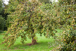 Malus domestica 'Médaille d'Or' (Cider). Apple tree at Aspall's Cider, Norfolk