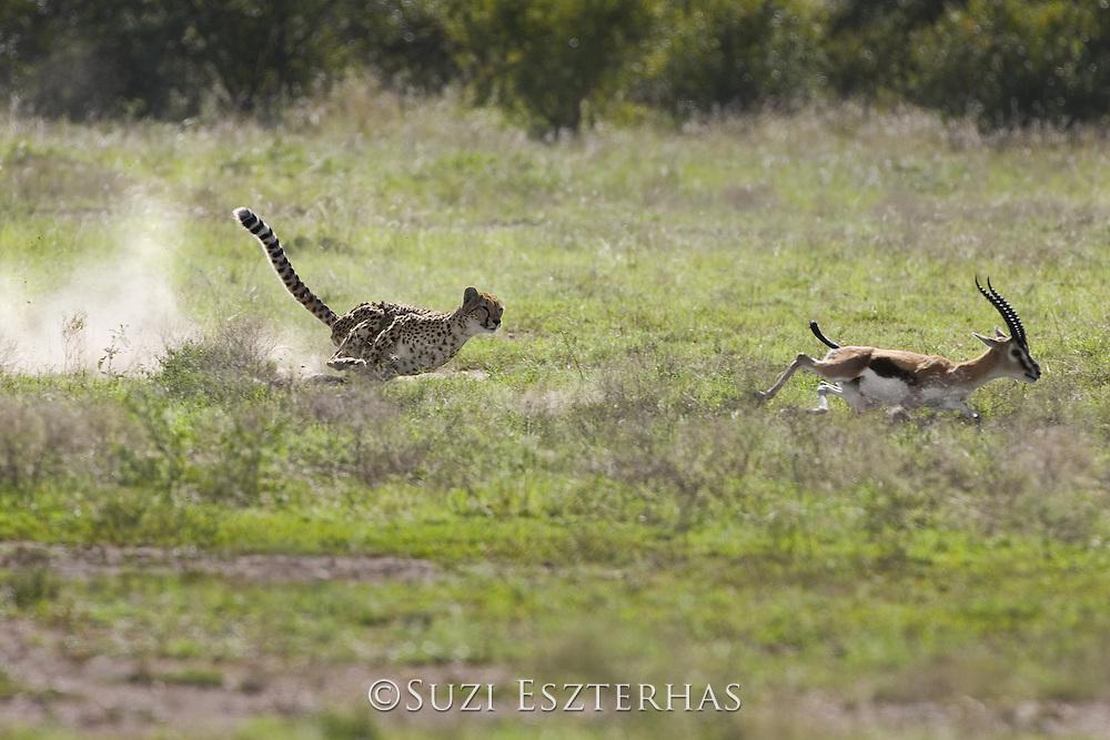 Cheetah<br /> Acinonyx jubatus<br /> Chasing adult male Thomson's gazelle<br /> Maasai Mara Conservancy, Kenya