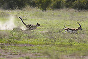 Cheetah<br /> Acinonyx jubatus<br /> Chasing adult male Thomson's gazelle<br /> Maasai Mara Conservancy, Kenya