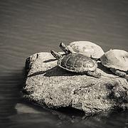 Turtles at Japanese Garden - Seattle, WA