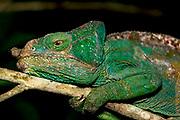 Parson's chameleon (Calumma parsonii) from Andasibe, eastern Madagascar.