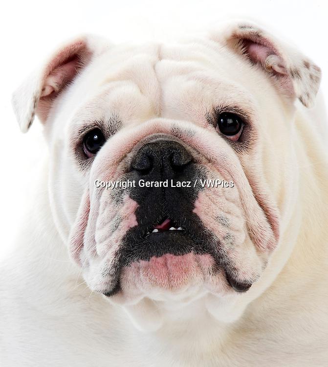 English Bulldog, Portrait of Female against White Background