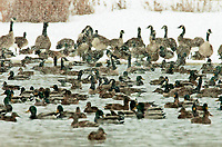 Canadian Geese and Ducks share the only open water in a marsh pond that still is not frozen during a snowstorm.