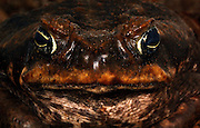 cane toad, Rhinella marina)head on, everywhere, australia