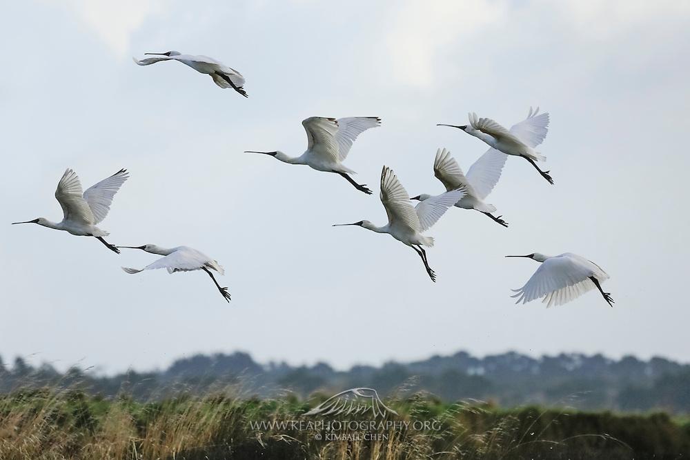 Royal Spoonbills in flight, Southland, New Zealand