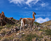 Guanaco in Torres del Paine National Park. Image taken with a Fuji X-T1 camera and Zeiss 32 mm f/1.8 lens.