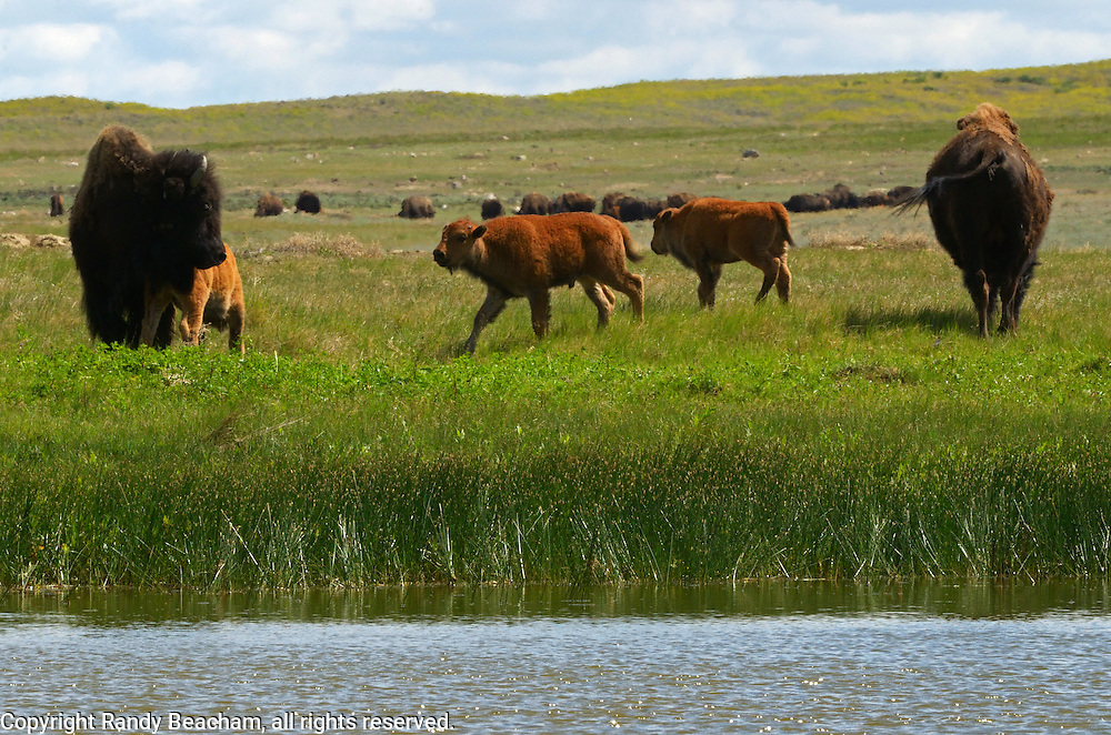 A bison herd and bison calves by a wetland pond on the Great Plains of Montana at American Prairie Reserve. South of Malta in Phillips County, Montana.