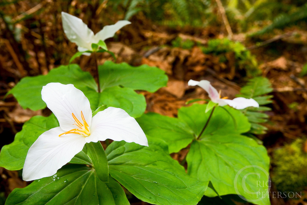 three flowers, trillium blooming in spring