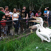 London,England,UK: 30th July 2016: Pelican at ZLS London Zoo an opening day for Little Creatures Family Festival ,England, UK. Photo by See Li