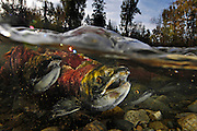 Spawning sockeye salmon swim up the Adams River in British Columbia in October, 2010.