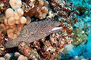 Whitemouth Moray profile, Gymnothorax meleagris, (Shaw & Nodder, 1795), Maui Hawaii