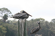 Gray Pelicans on posts at a Jekyll Island Gerogia dock.