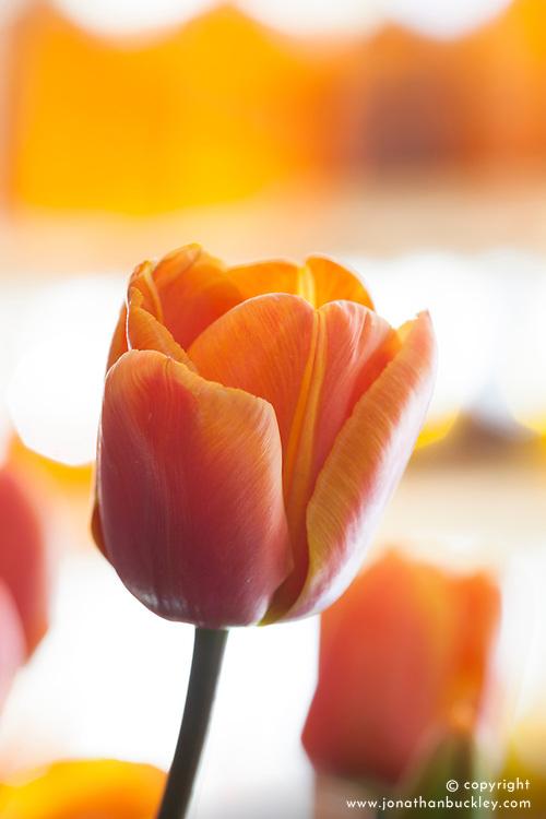 Tulipa 'Brown Sugar'