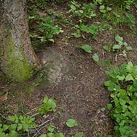 grizzly bear rub tree badger two medicine, montana