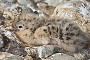 Endangered Black-billed Gull chick, newborn, New Zealand