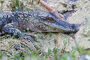Juvenile alligator resting at the edge of a managed depression. <br /> Harris Neck National Wildlife Refuge. Townsend, GA U.S.A