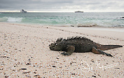 A marine iguana basks in the sun on Cerro Brujo beach near Santiago island, Galapagos islands, Ecuador.