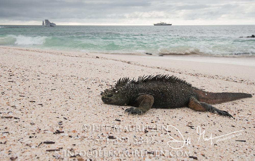 A marine iguana basks in the sun on Cerro Brujo beach near Santiago island, Galapagos islands, Ecuador.