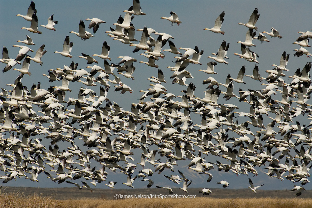 Snow geese in flight at the Market Lake Wildlife Management Area in southeast Idaho.