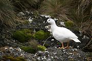 Cormorants, Patagonia, Chile