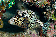 Spotted Trunkfish, Lactophrys bicaudalis, (Linnaeus, 1758), Grand Cayman