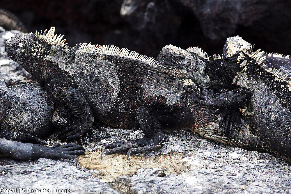Marine iguanas, found only on the Galapagos Islands, lounge on a rock on Isabela Island. The marine iguana is the only modern lizard that lives and forages in the sea and its primary food source is marine algae. Because they have to rid their bodies of excess salt, one can often see marine iguanas making a sort of sneezing sound and expelling water and salt from their noses.