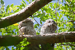 A pair of Tawny frogmouths look down from a daytime perch.