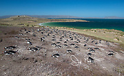 Gentoo penguins nest together in a colony, high up on a grassy hill on Carcass Island.