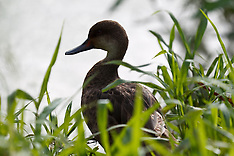 White-Cheeked Pintail duck (Anas bahamensis)
