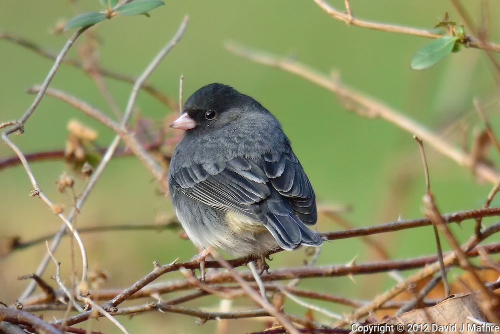 """Dark-eyed """"Slate-colored"""" Junco. Backyard Winter Nature in New Jersey. Image taken with a Nikon 1 V2 camera and 600 mm f/4 VR lens (ISO 280, 600 mm, f/4, 1/500 sec)."""