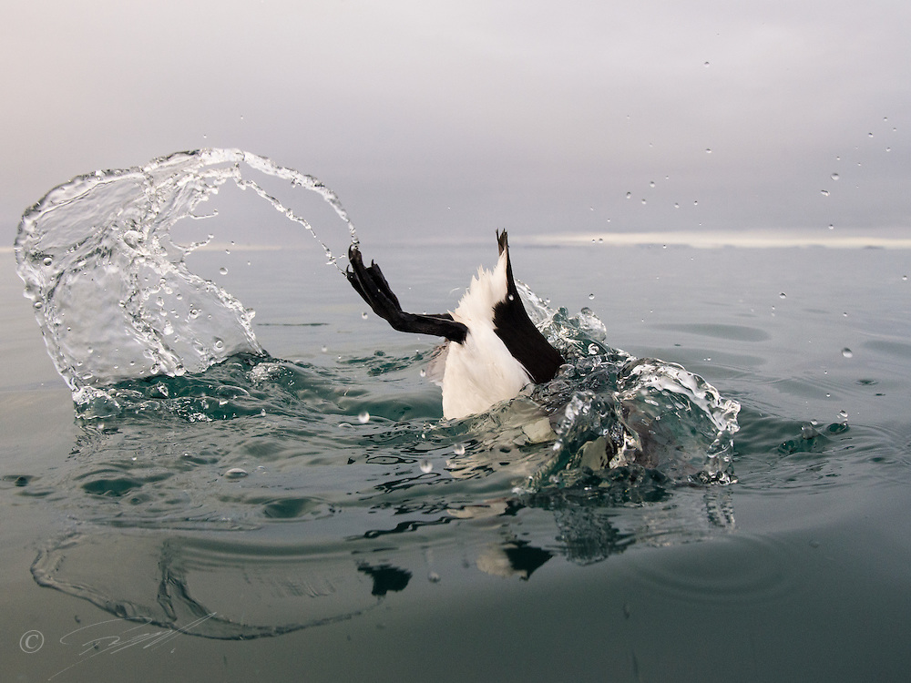 Brünnich's Guillemot, Uria lomvia, diving near the bird cliff on Spitsbergen, Svalbard, Norway.