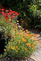 Californian poppies in red and orange in a garden