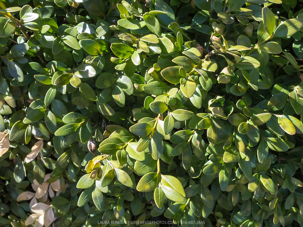 Boxwood, a broadleaf evergreen shrub.