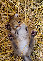 Orphaned Jungle Cat (Felis chaus) kitten which had been rescued by park rangers in Bardia National Park, Nepal
