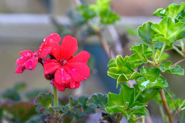 Nederland, Ubbergen, 1-1-2016De natuur is van slag door de zachte winter, het warme weer. Planten zijn in de war en gaan bloeien of uitlopen.FOTO: FLIP FRANSSEN/ HH