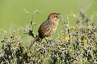 Cape Grassbird singing from the top of a bush, Overberg, Western Cape, South Africa