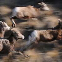 Bighorn Sheep running sheep lambs