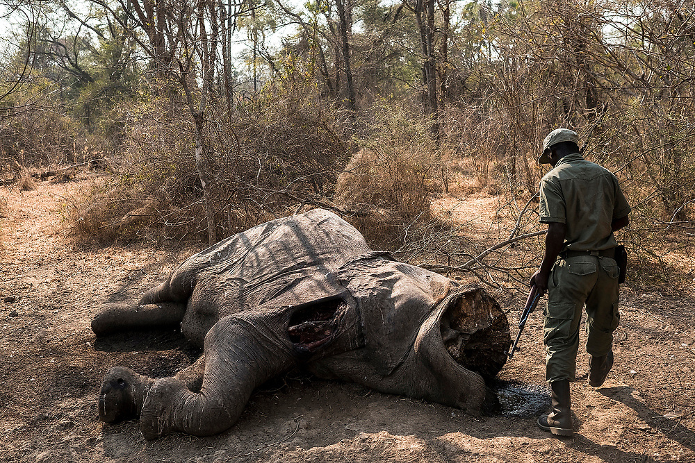 NIASSA RESERVE , MOZAMBIQUE - JULY 31, 2016: Elephant ivory has been exported from Africa and Asia for centuries. Since 2006 tens of thousands of elephants have been slaughtered across Africa. In 2012 there were about 12 000 elephants in the Niassa Reserva, Mozambique. In 2015 there were only 4 450 elephants left! This year (2016) about 165 have already been killed. <br /> Niassa Reserve is a nature reserve in Cabo Delgado Province and Niassa Province, Mozambique. Covering over 42,000 square kilometres.<br /> The Mozambican Government with the help of the Wildlife Conservation Society have been fighting anti-poaching but the lack of funds makes this struggle very difficult.<br /> The Chinese government made a stunning announcement this year. It would shut down the country's ivory market, the world's largest. With this announcement the hope of lowering the dead elephants is good.<br /> Female elephant killed by poachers two days before the rangers arrived there. The shot was heard on the same day but the lack of means to reach the place made it difficult to catch poachers.