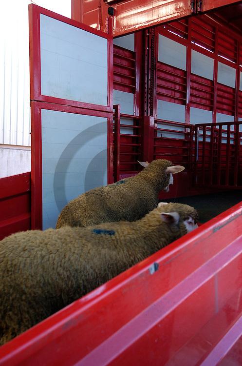 16/03/05 - VENAREY LES LAUMES - COTE D OR - FRANCE - Centre d Allotement BOURGOGNE ELEVAGE. Transports d ovins - Photo Jerome CHABANNE