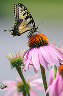 Eastern Tiger Swallowtail on coneflower at Hammond Lake in PA